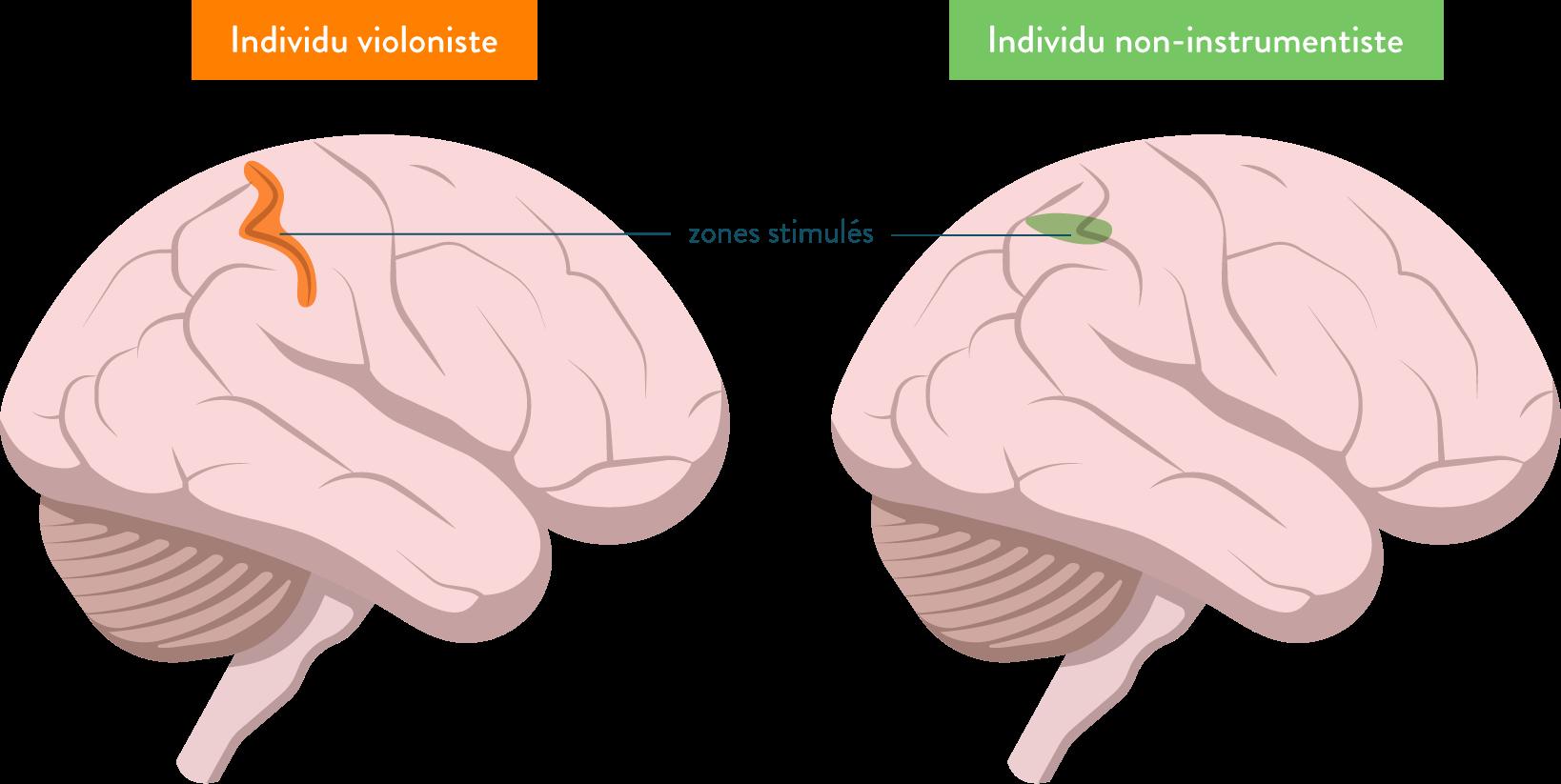 Activité mesurée lors de la stimulation de la main gauche chez deux individus-placticité cérébrale-sciences-première-es-l