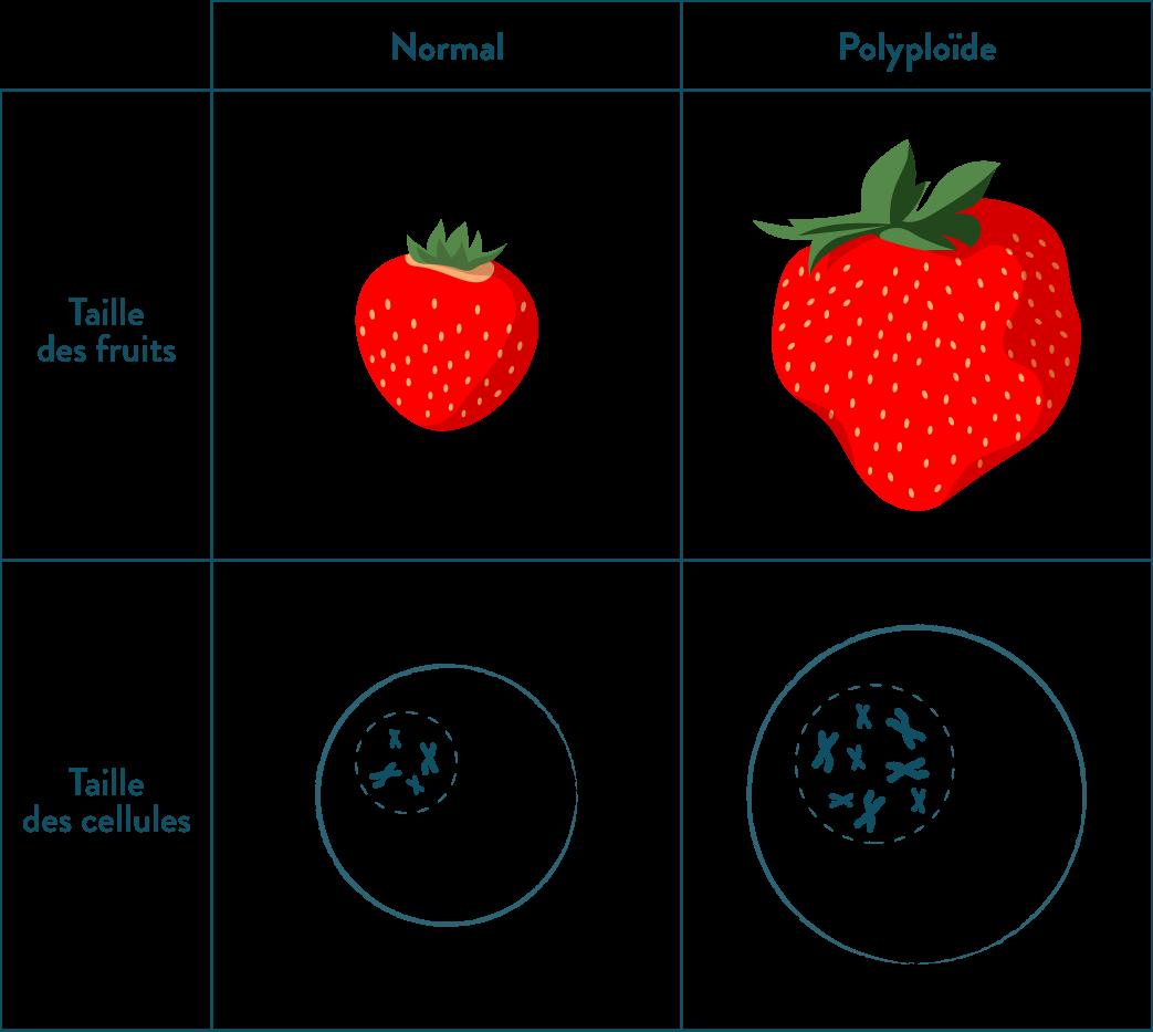 Caractéristiques des fruits normaux et des fruits polyploïdes