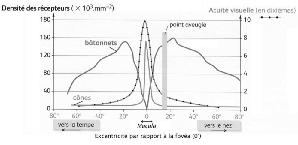 Distribution des photorécepteurs et de l'acuité visuelle dans la rétine de l'œil gauche