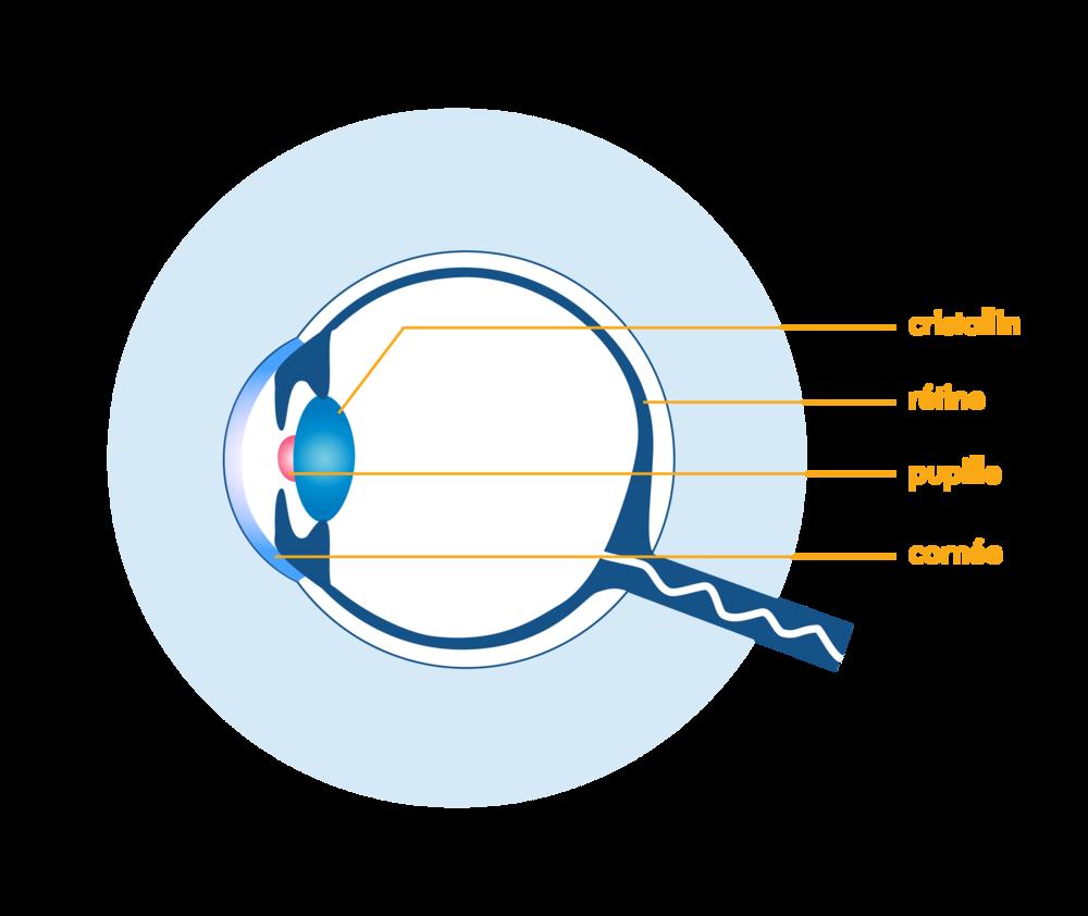 schéma œil humain légendé-cristallin-rétine-pupille-cornée-physique-chimie-première-s-schoolmouv