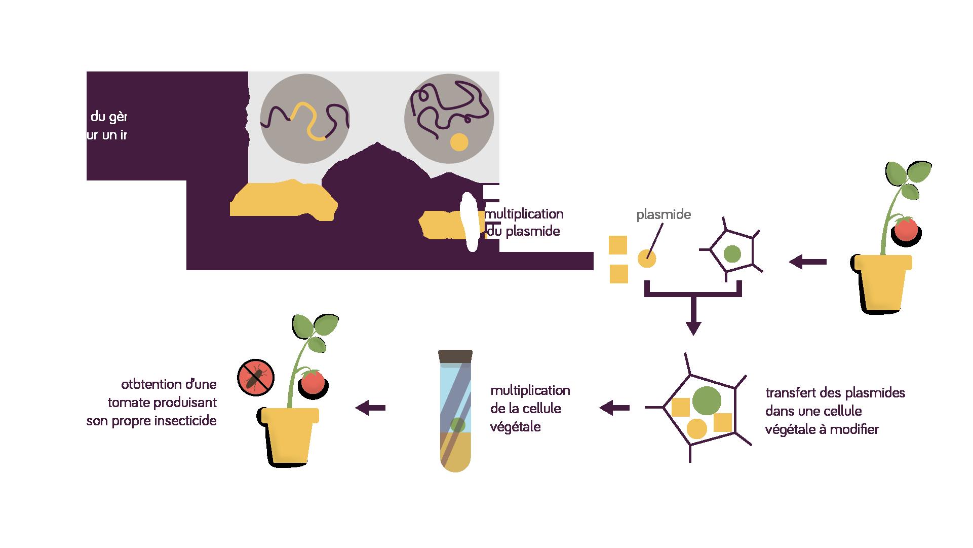 Transgénèse processus, obtention d'une tomate produisant son propre insecticide