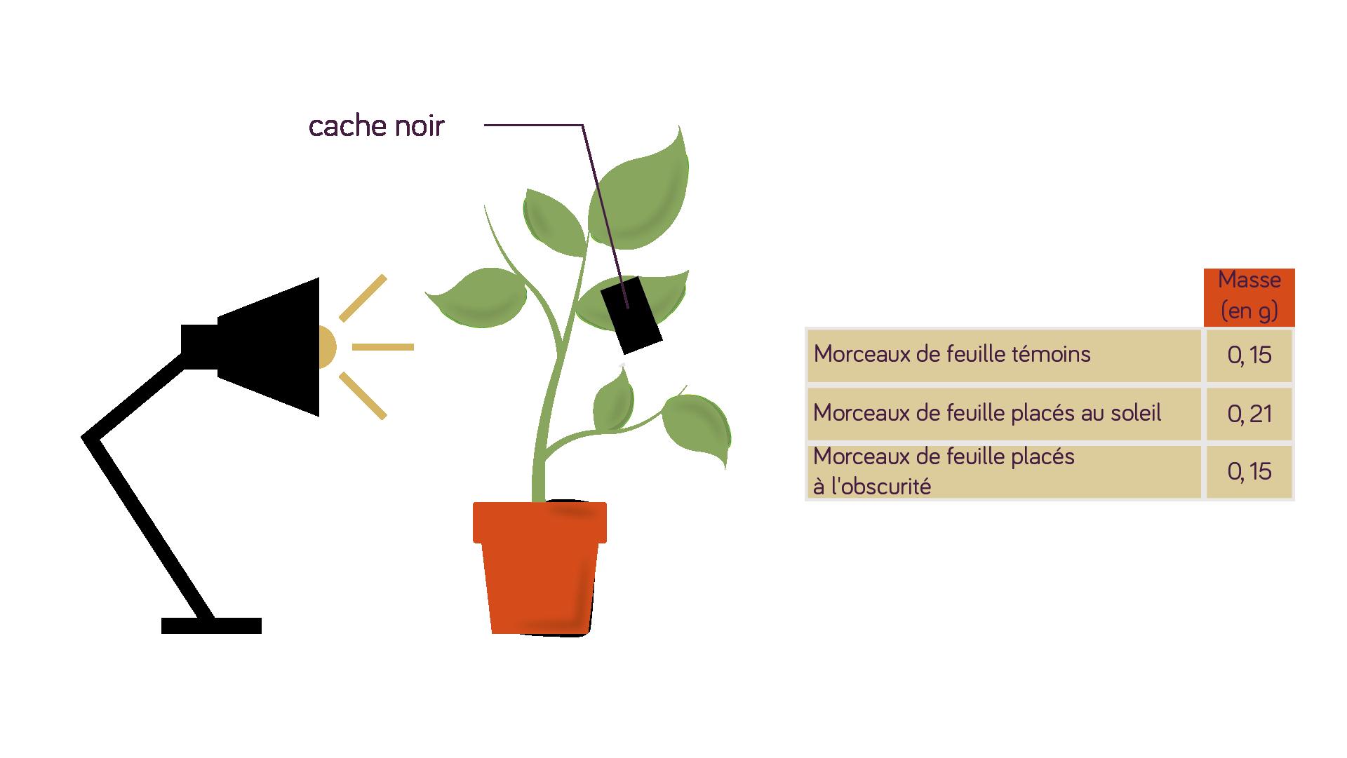 De la lumi re solaire la mati re organique la photosynth se fiche de cours schoolmouv - Quelles sont les plantes que l on peut bouturer ...