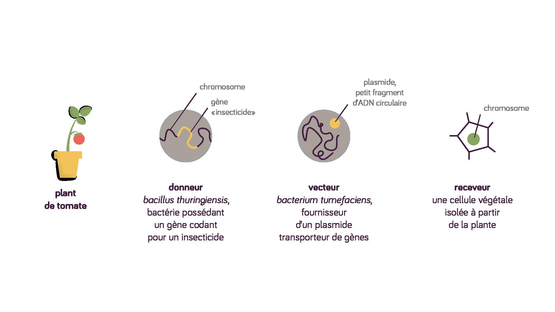 Transgénèse, donneur, gène insecticide, vecteur, plasmide, receveur, cellule végétale