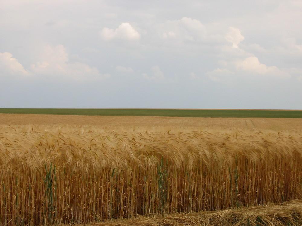 Champ de céréales en Beauce