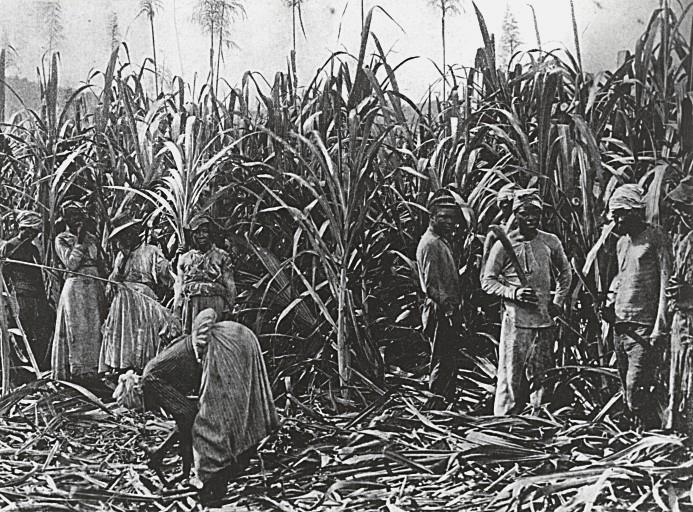 Alt Esclaves travaillant dans une plantation de cannes à sucre entre 1879 et 1891
