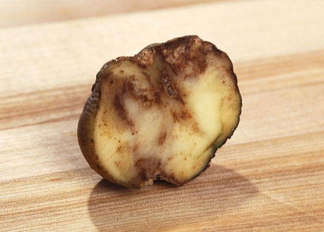 Alt Une pomme de terre infestée par le mildiou