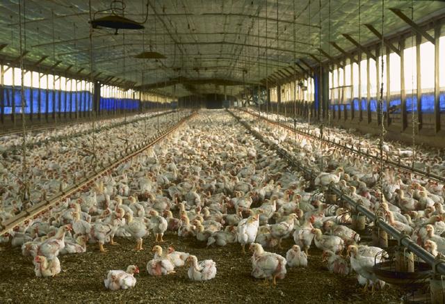 L'élevage de poulets en intérieur