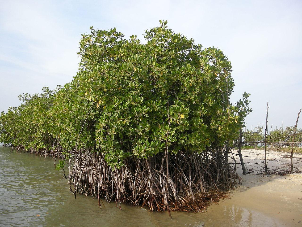 Mangrove à palétuviers sur l'île de Carabane, au Sénégal