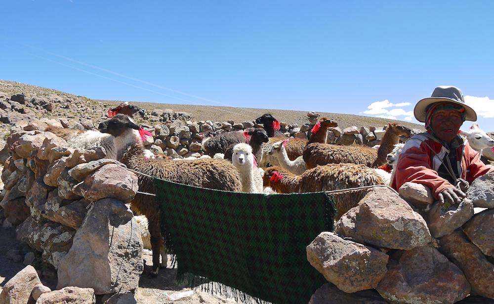 Des lamas et des alpagas, dans la Cordillère des Andes, au Pérou ©Marie Thérèse Hébert & Jean Robert Thibault