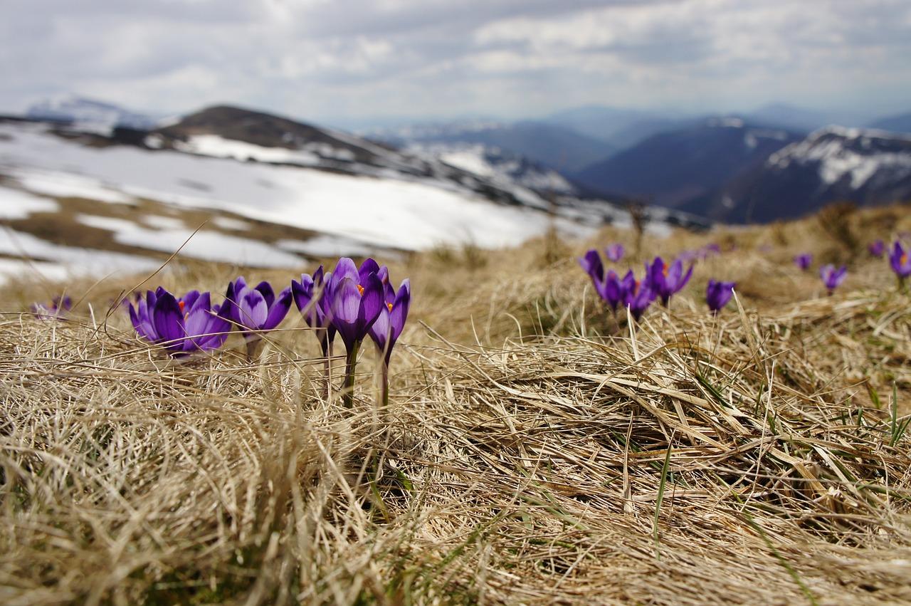 Des fleurs en haute montagne