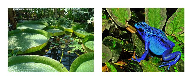Les nénuphars géants et la grenouille dendrobate bleue, deux espèces d'Amazonie