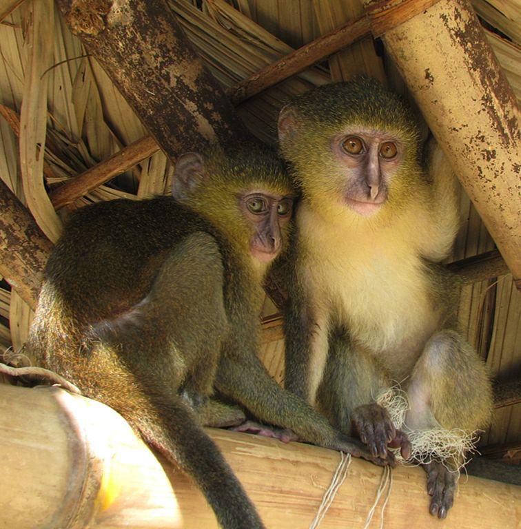 Le lesula, une espèce de singe découverte au Congo en 2007 ©John Hart