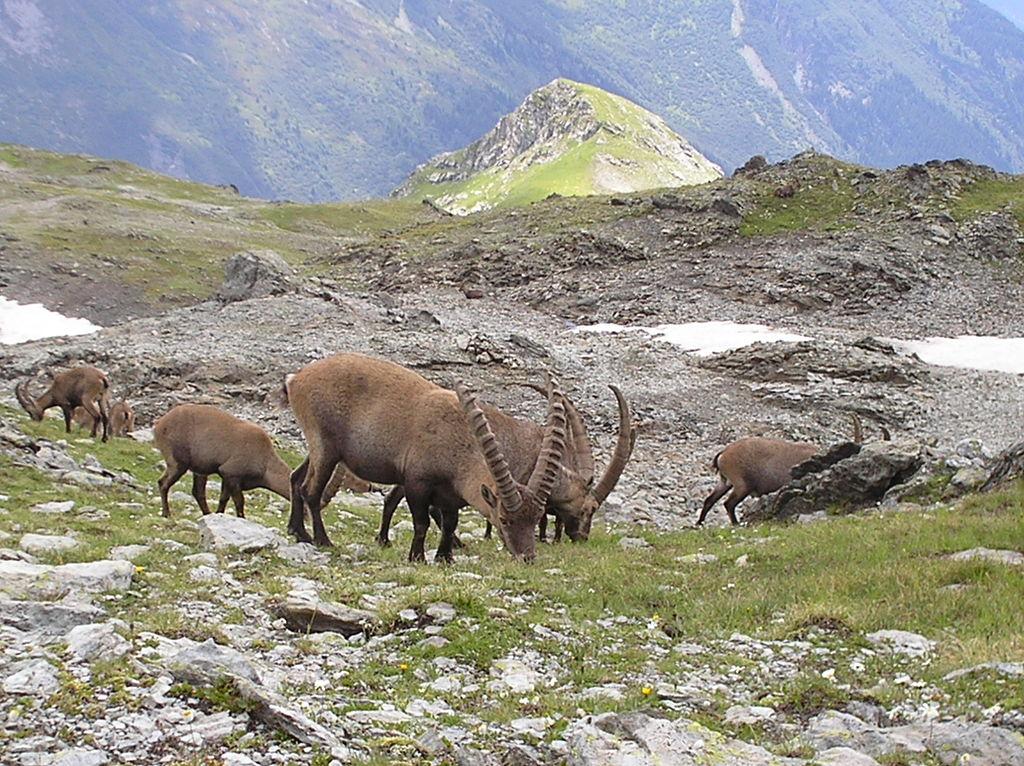 Des bouquetins des Alpes dans le parc national de la Vanoise. Ces animaux avaient quasiment disparu au XIX<sup>e</sup>siècle. Il y en a désormais 2100 dans ce parc.
