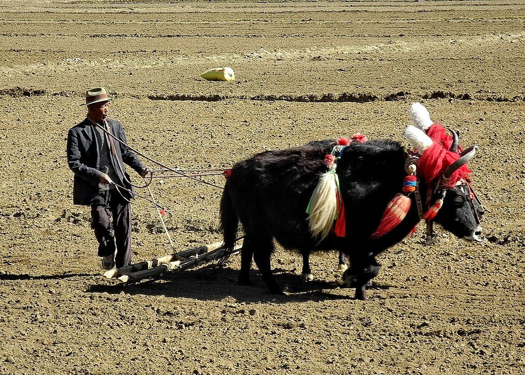 Un paysan laboure son champ au Tibet ©Michel Royon