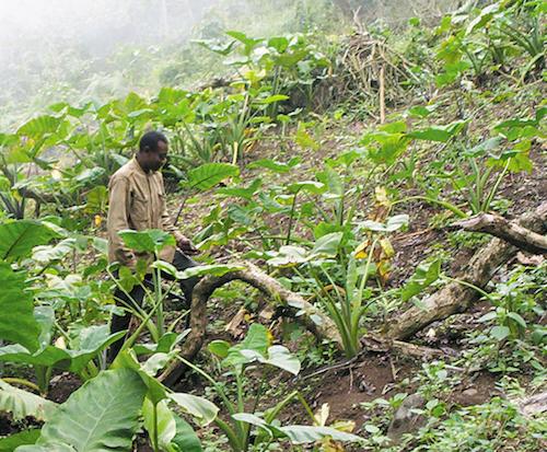 Un paysan dans son champ au Cameroun ©Amcaja