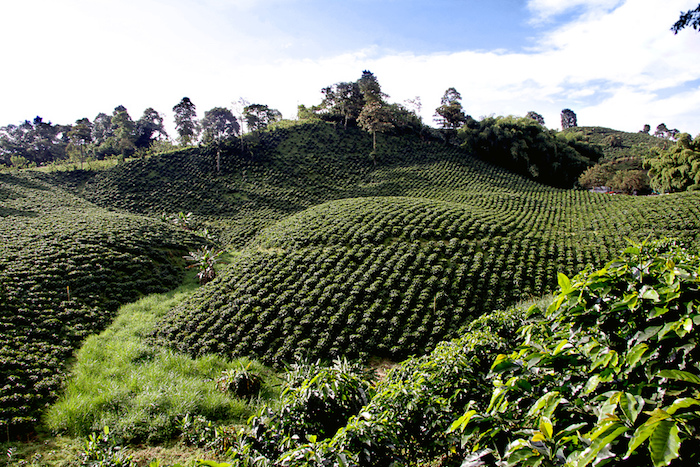 Une plantation de café en Colombie ©Maria del Pilar Ruiz – CC BY 2.0