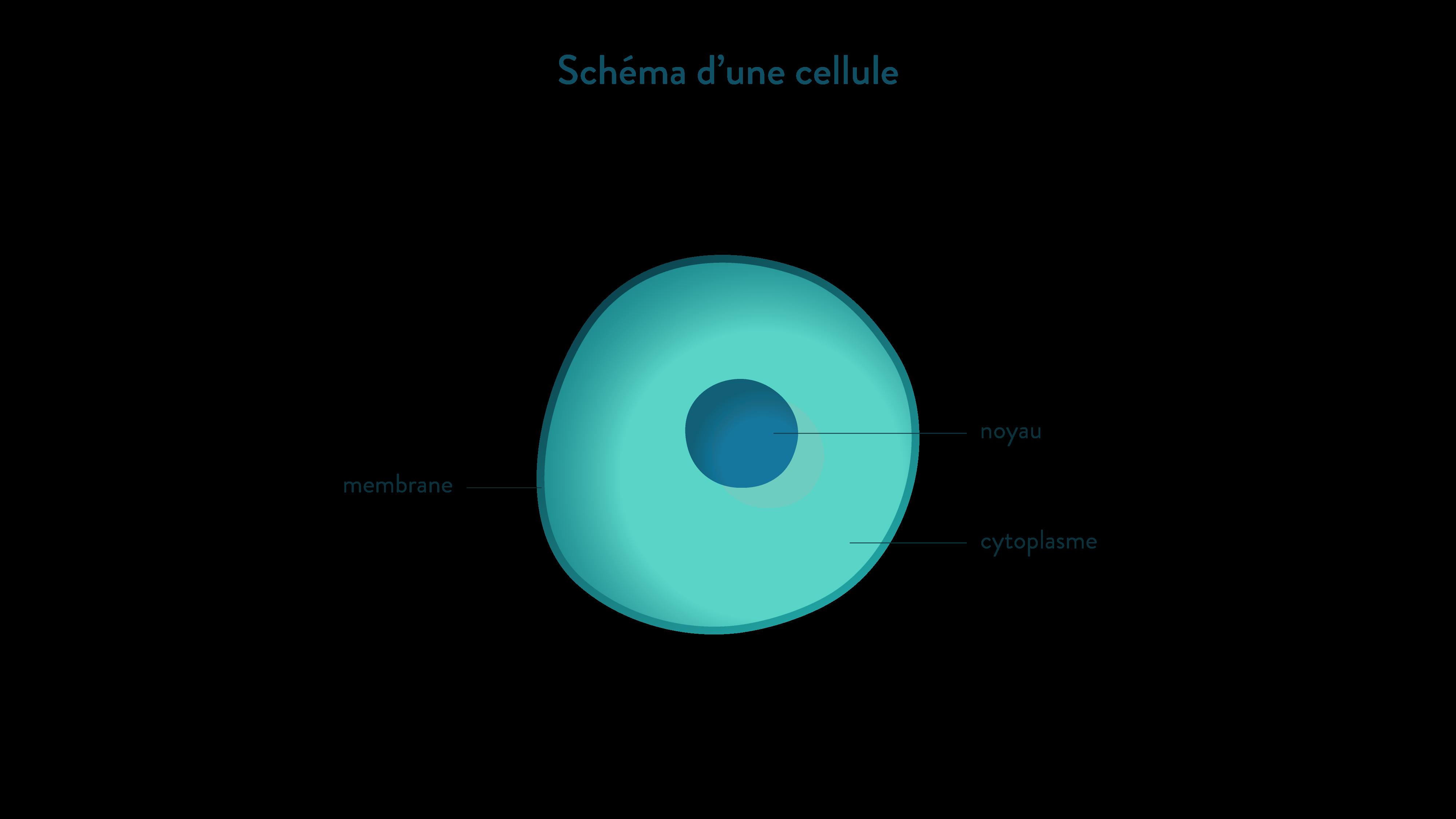 Schéma d'une cellule membrane noyau cytoplasme-svt-6eme-schoolmouv