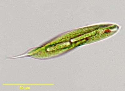 Unicellulaire euglène-svt-6eme-schoolmouv