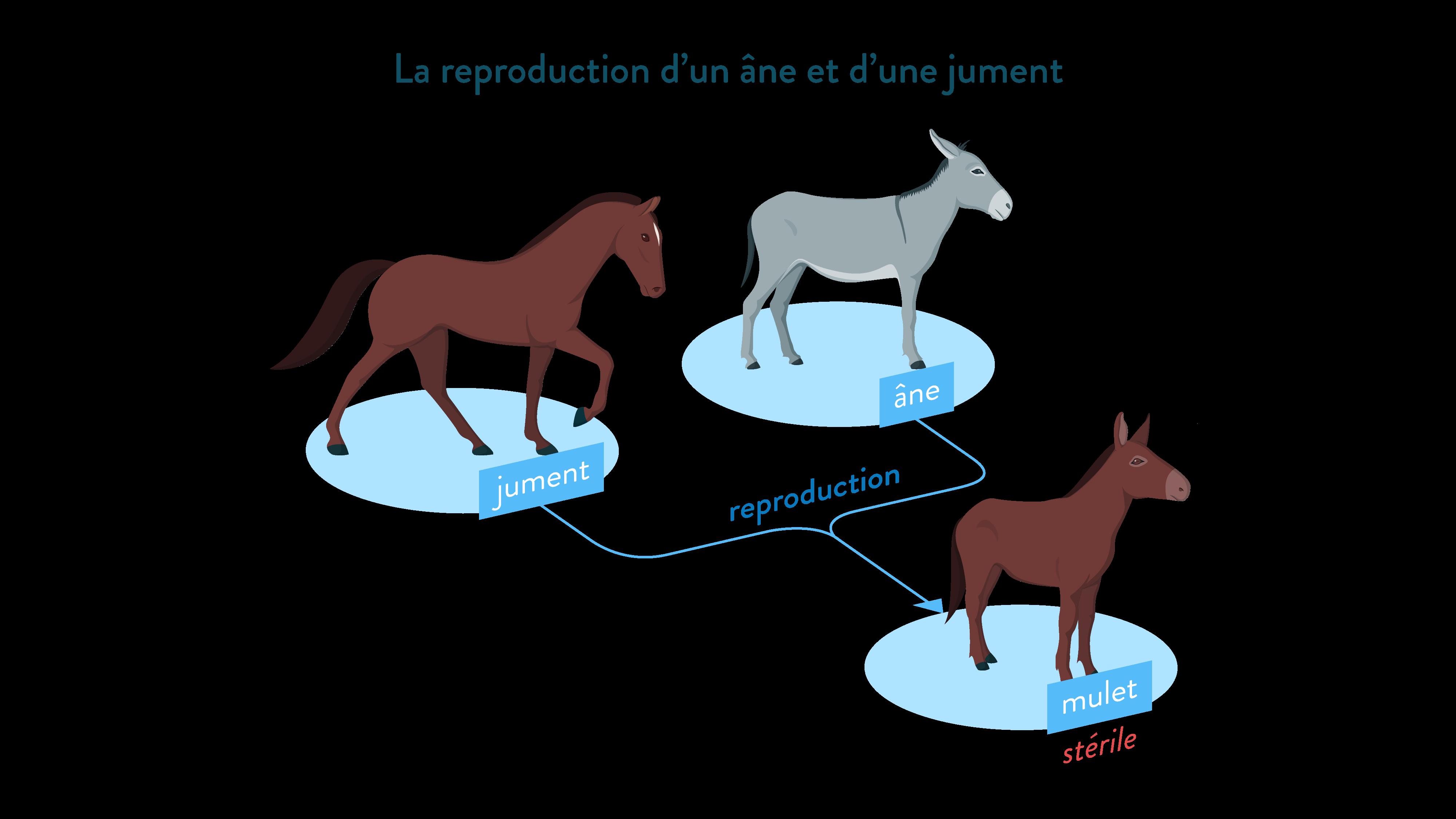 Reproduction d'un âne et d'un jument mulet stérile-svt-6eme-schoolmouv