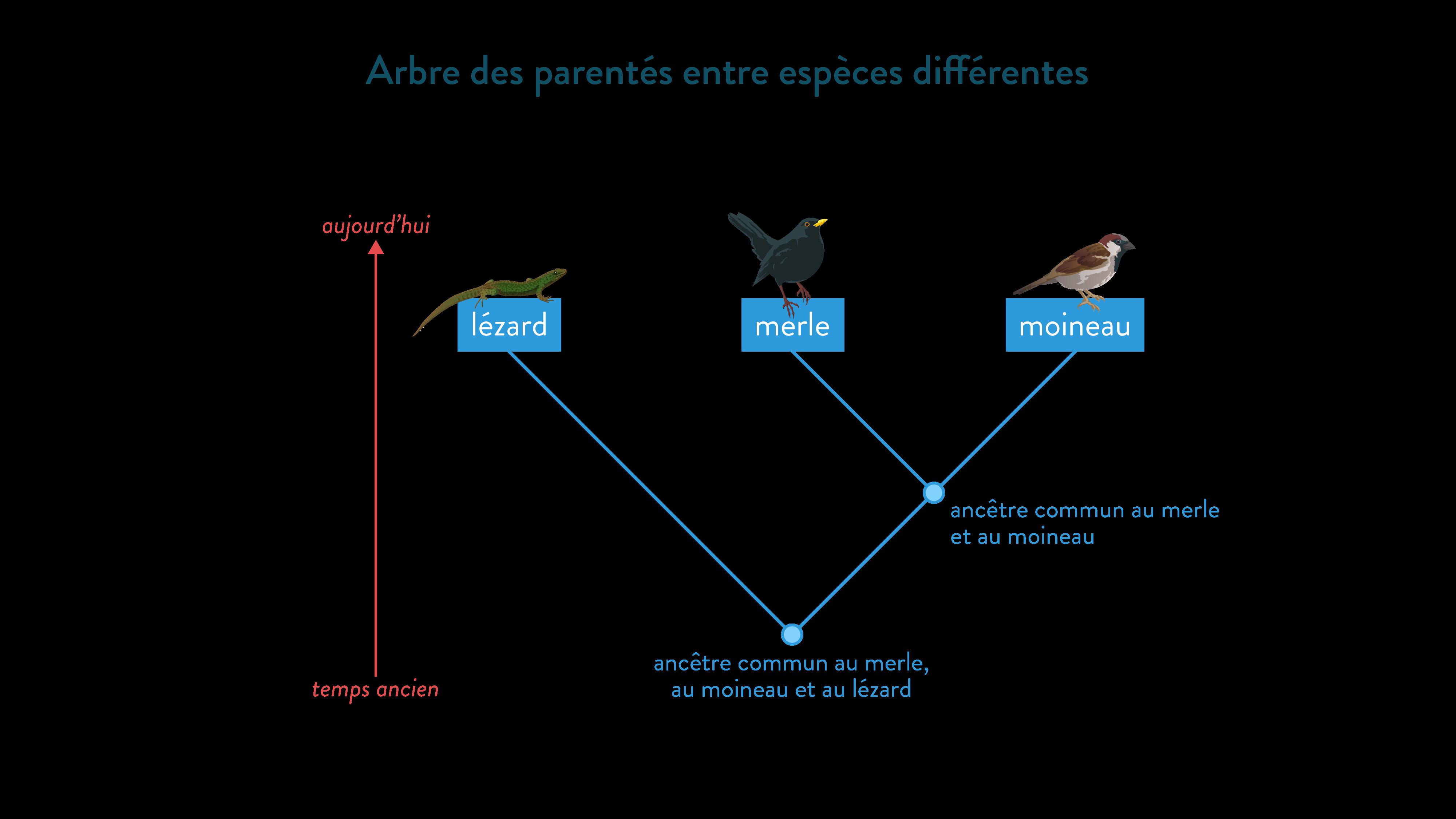 Arbre des parentés entre espèces différentes-svt-6eme-schoolmouv