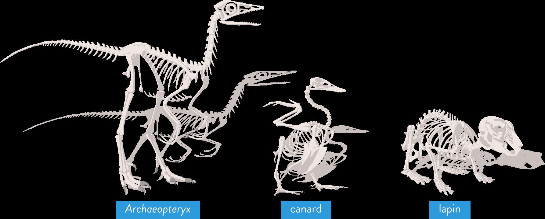 Squelettes d'Archaeopteryx, de canard et de lapin, fossiles-svt-6eme-schoolmouv-évolution des espèces