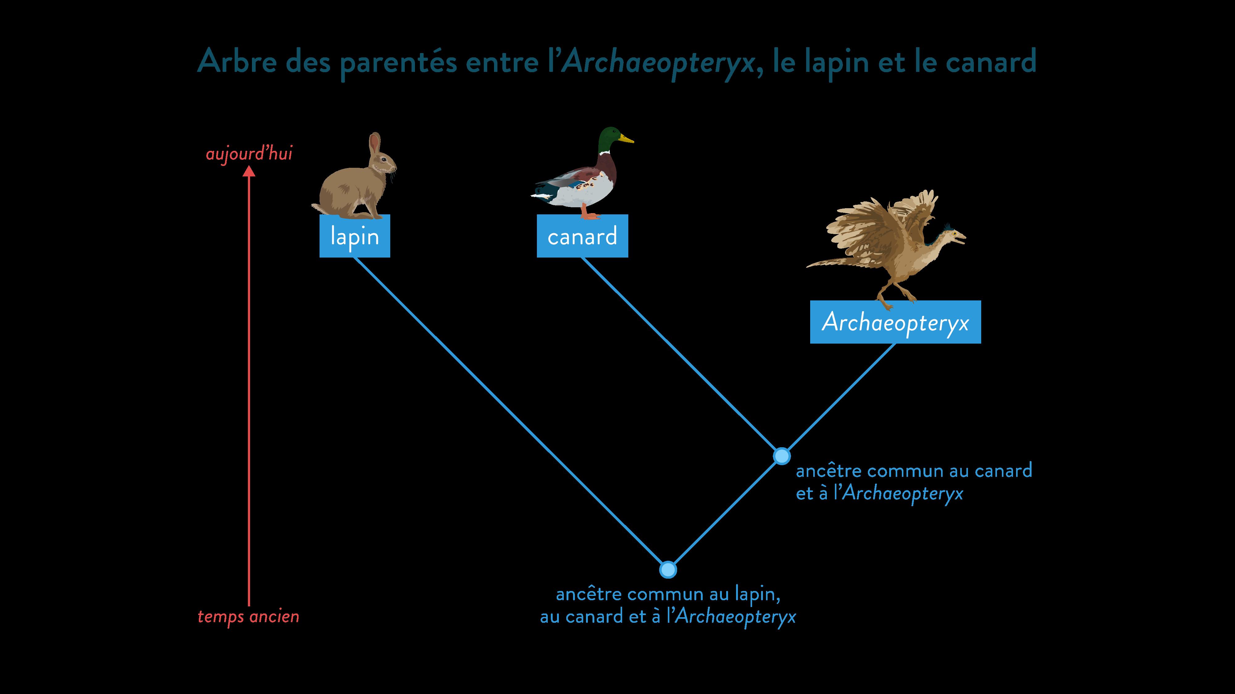 Arbre de parenté de l'Archaeopteryx, du canard et du lapin ancêtre commun-svt-6eme-schoolmouv