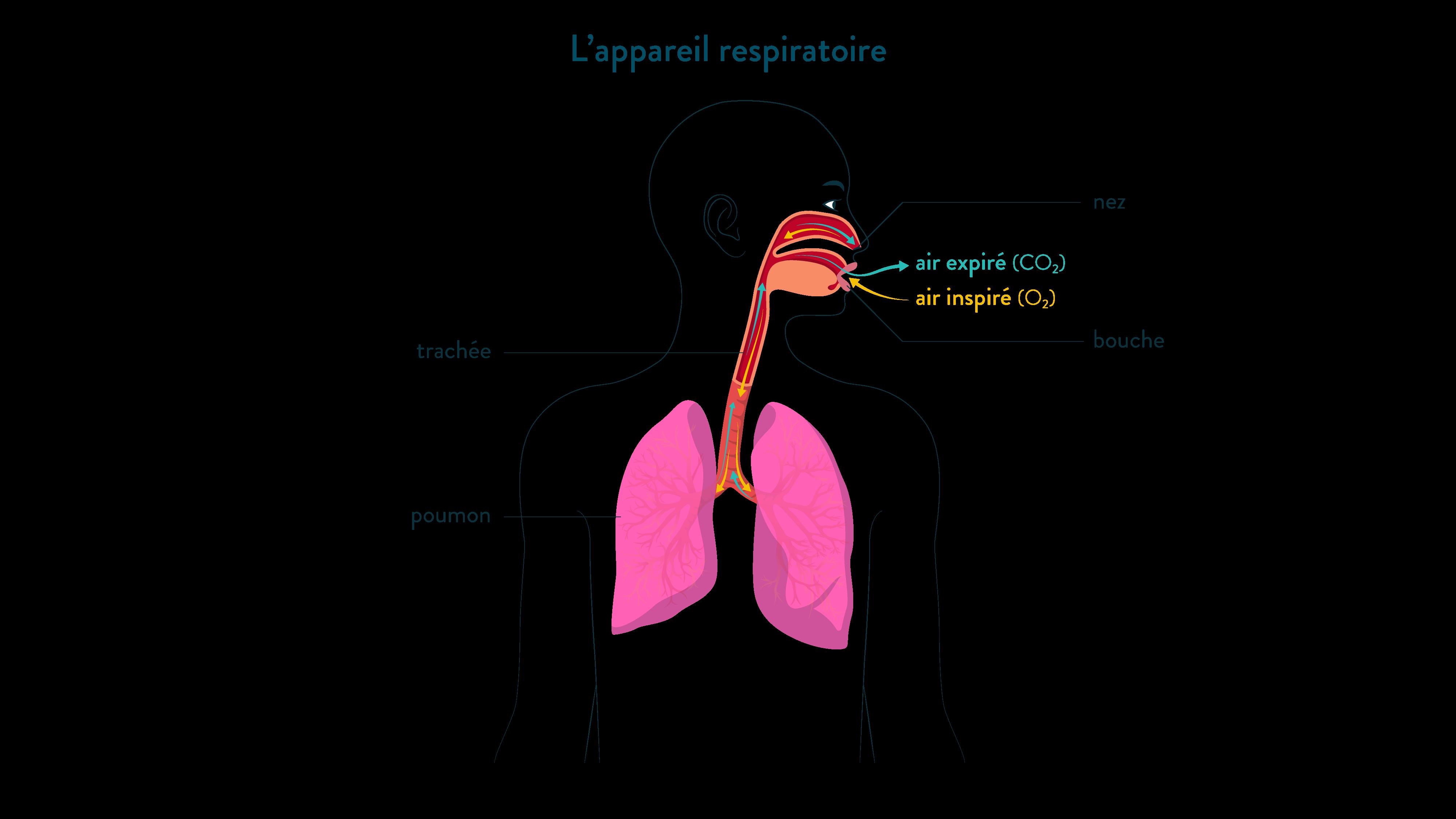 L'appareil respiratoire-svt-6eme-schoolmouv