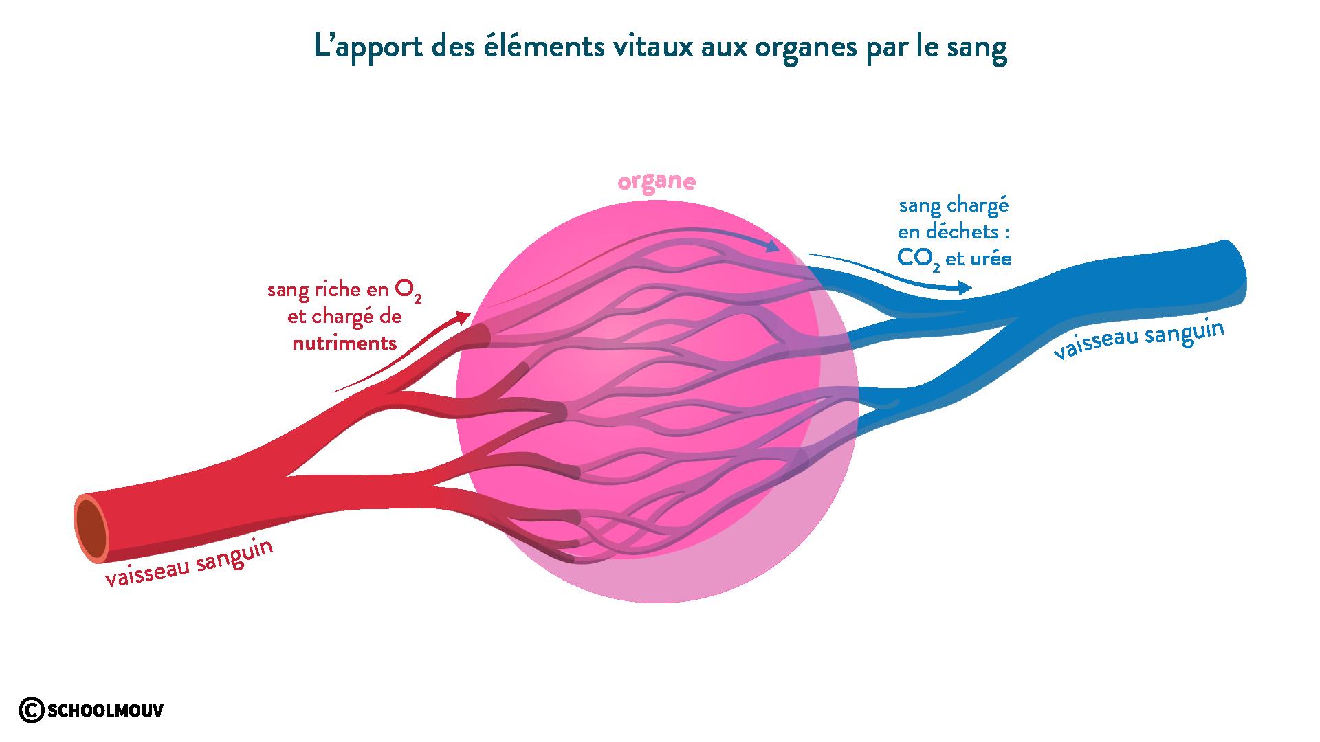 L'apport en éléments vitaux aux organes-svt-6eme-schoolmouv