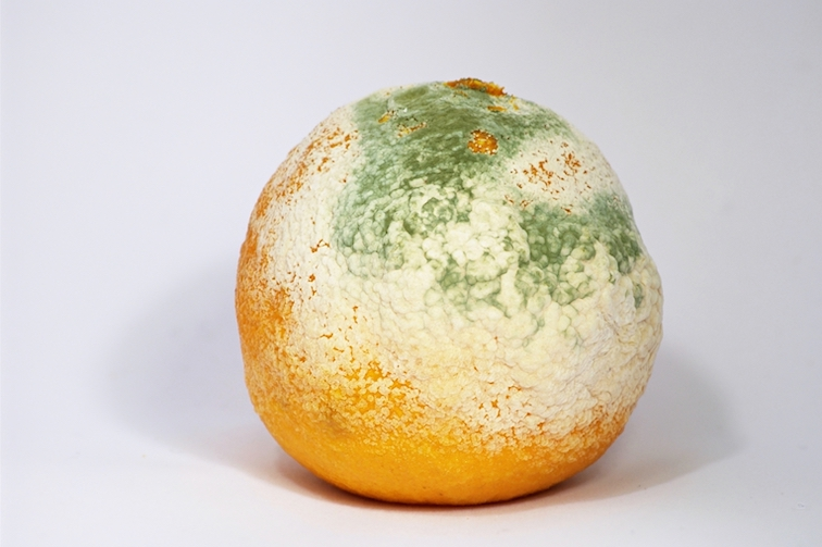 Une clementine couverte de moisissures-svt-6eme-schoolmouv