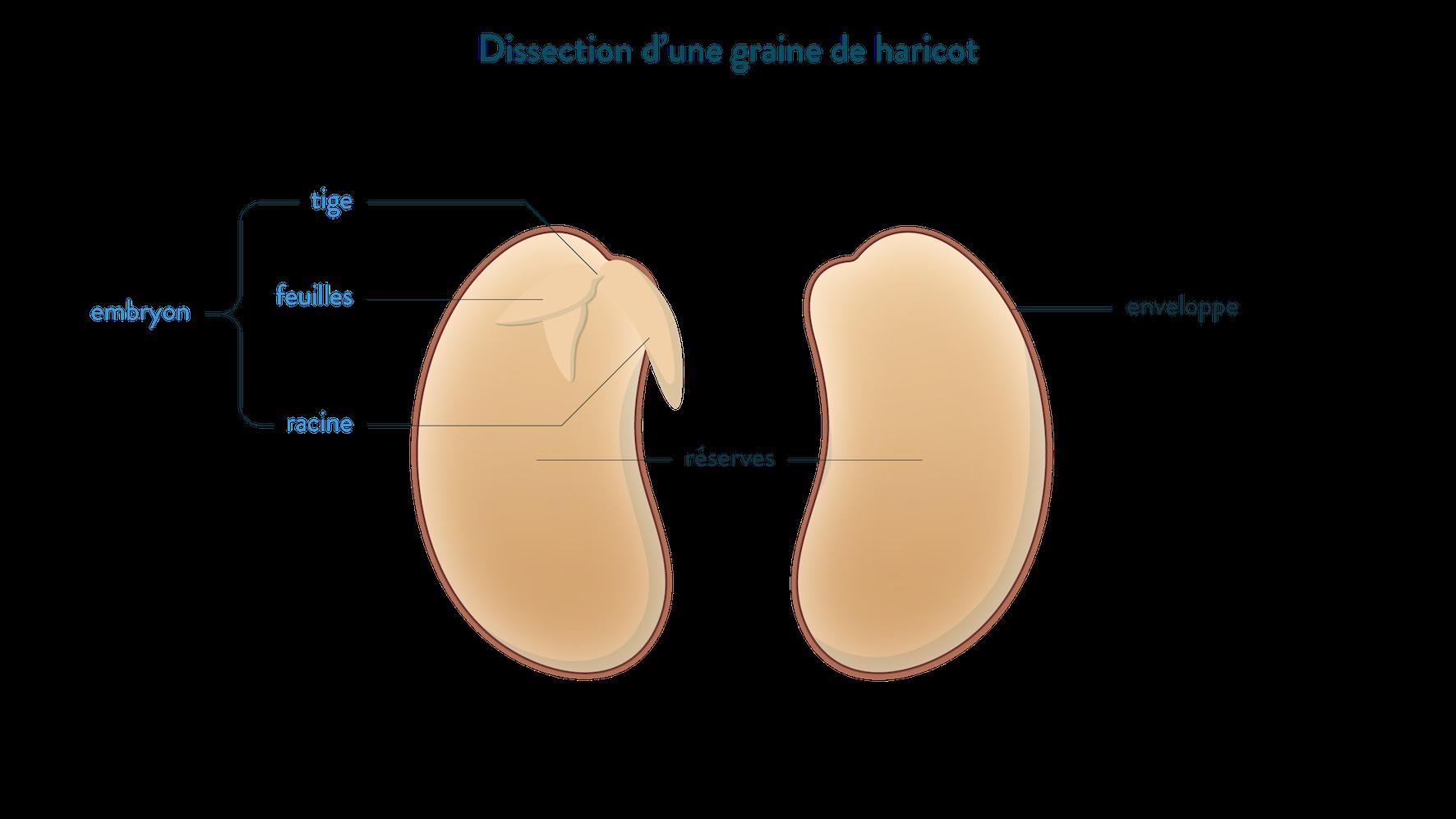 Dissection d'une graine de haricot, embryon tige feuille racine svt 6ème schoolmouv