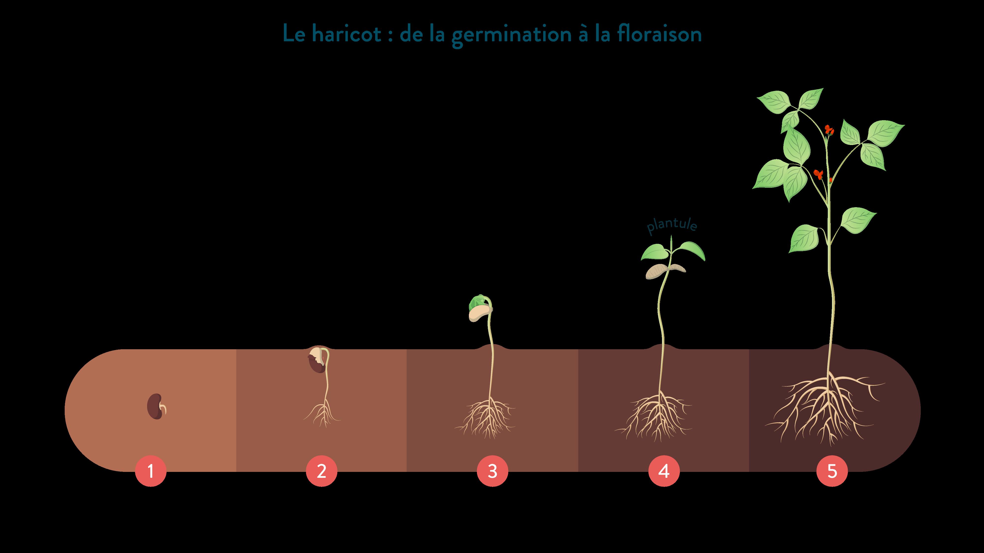 Le haricot germination floraison svt 6ème schoolmouv