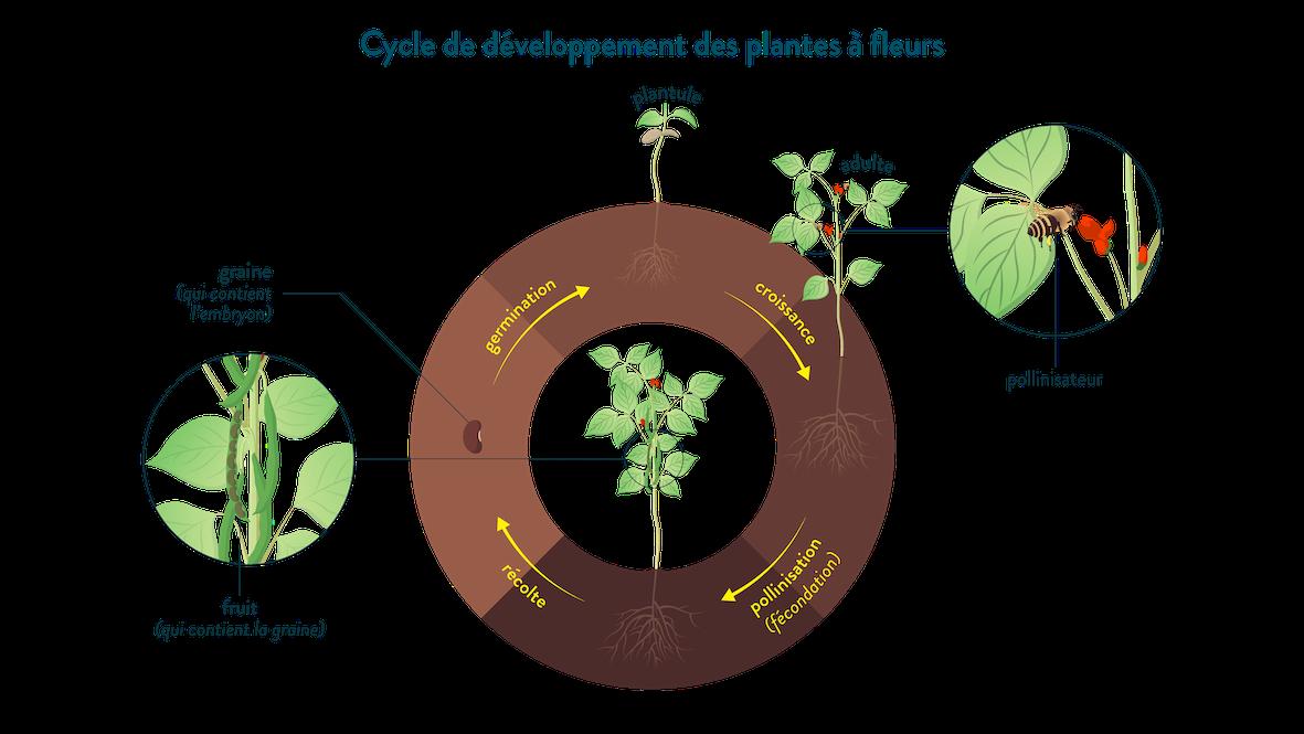 Cycle de développement des plantes à fleurs graine germination plantule croissance pollinisation fruit