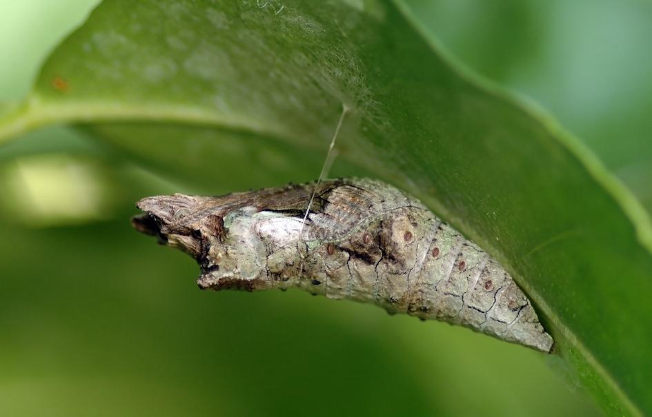 Une chrysalide, Ianaré Sévi, CC BY-SA