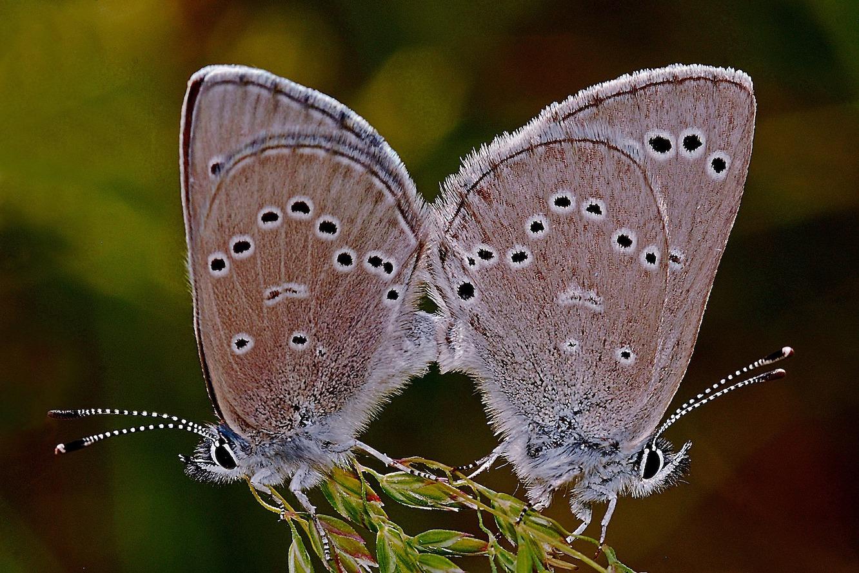Accouplement d'un papillon mâle et d'un papillon femelle