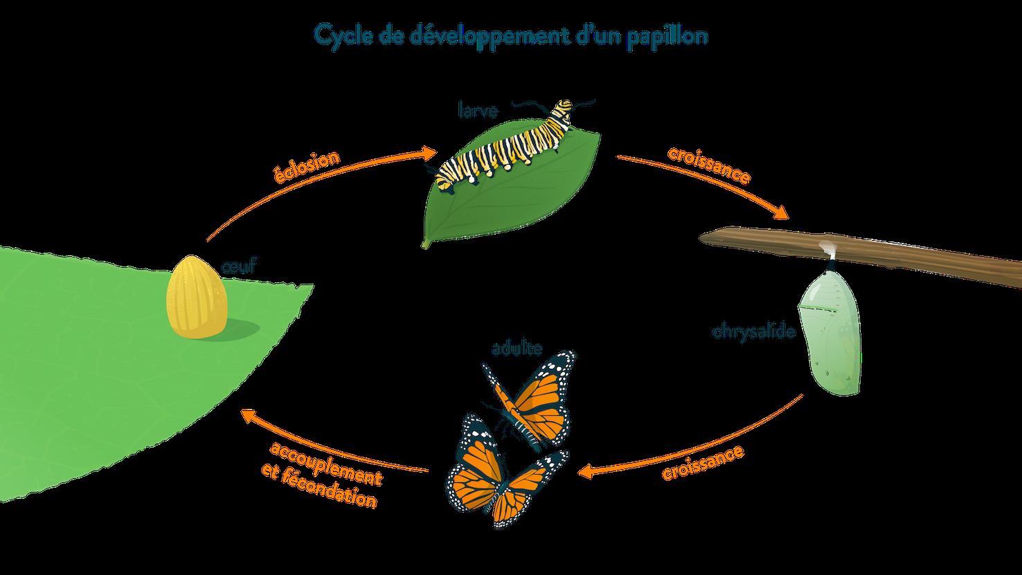 Cycle de développement d'un papillon œuf éclosion larve croissance chrysalide adulte accouplement fécondation