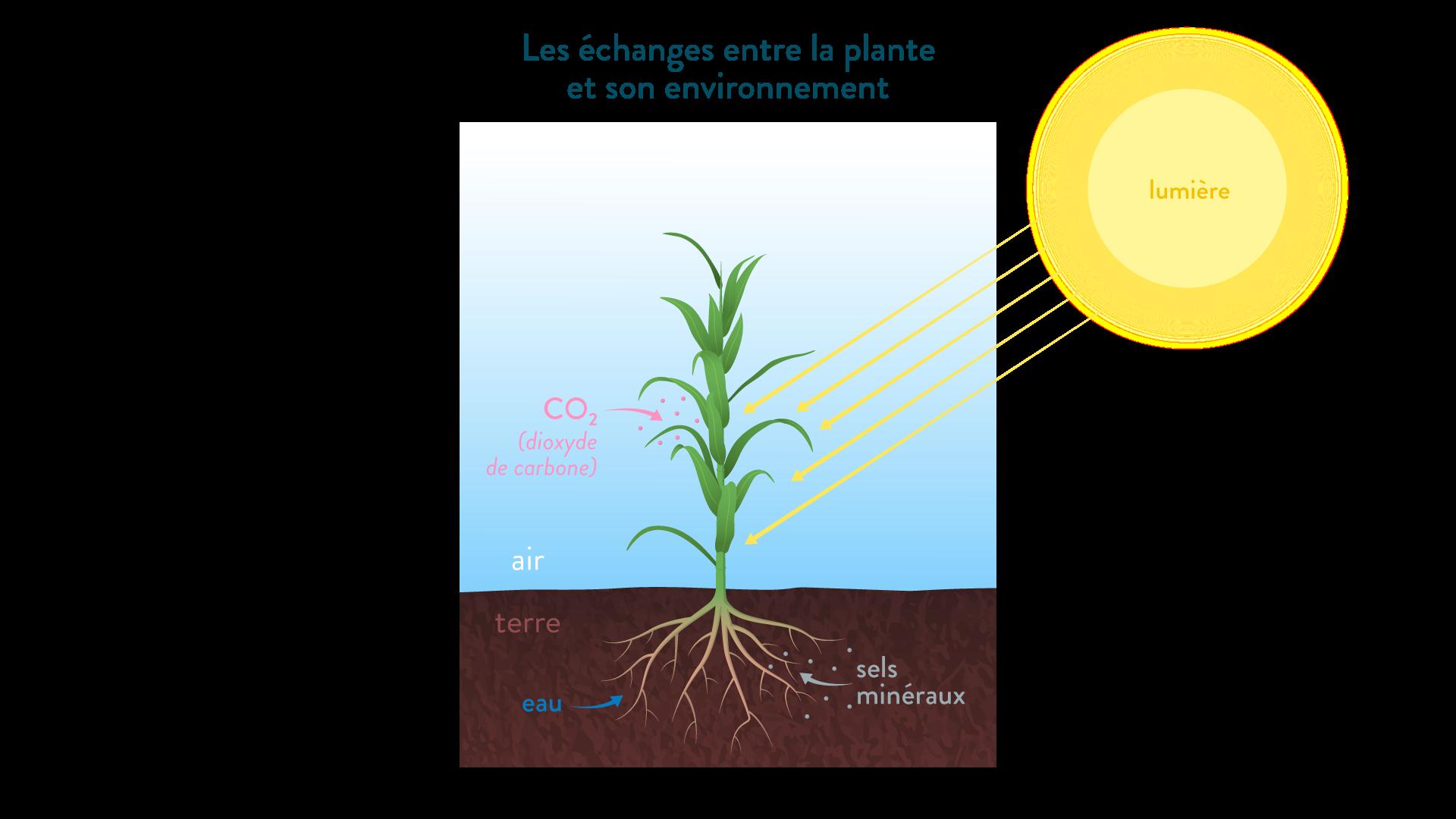 Les échanges entre la plante et son environnement lumière C02 sels minéraux eau-svt-6eme-schoolmouv