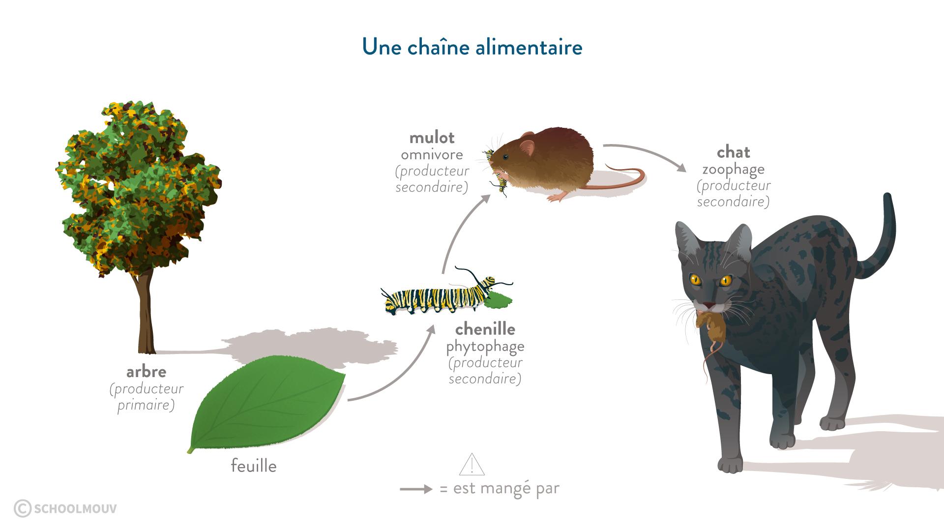 SVT sixième chaîne alimentaire arbre feuille chenille mulot chat