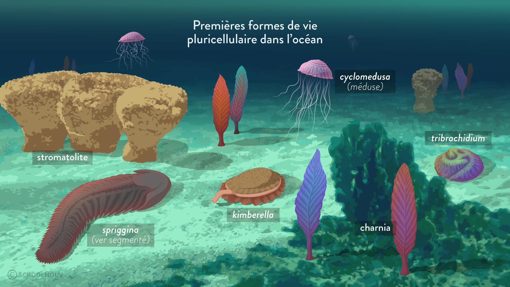 Premières formes de vie pluricellulaire dans l'océan-svt-6e-schoolmouv