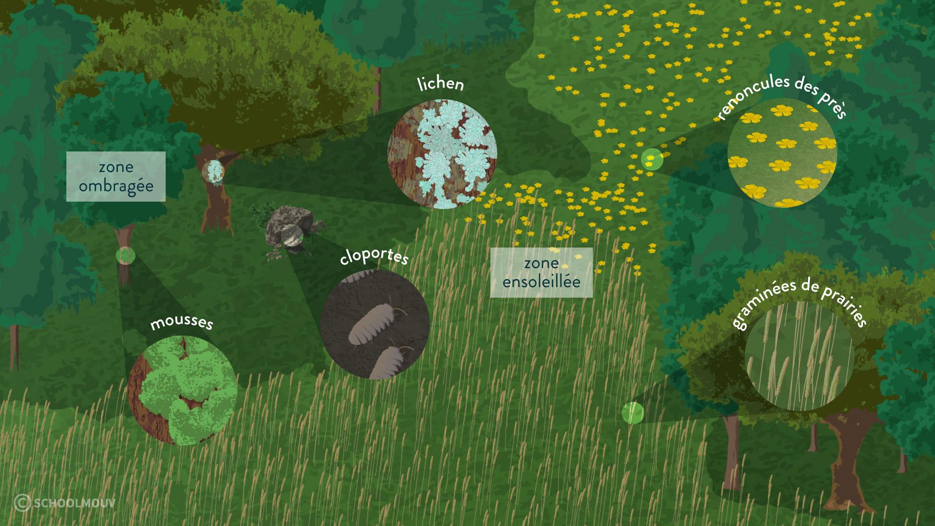 La répartition des êtres vivants dans les zones ombragées et ensoleillées Mousses, lichen sur tronc, Cloportes, Graminées de prairies, Renoncules des près-svt-6-schoolmouv