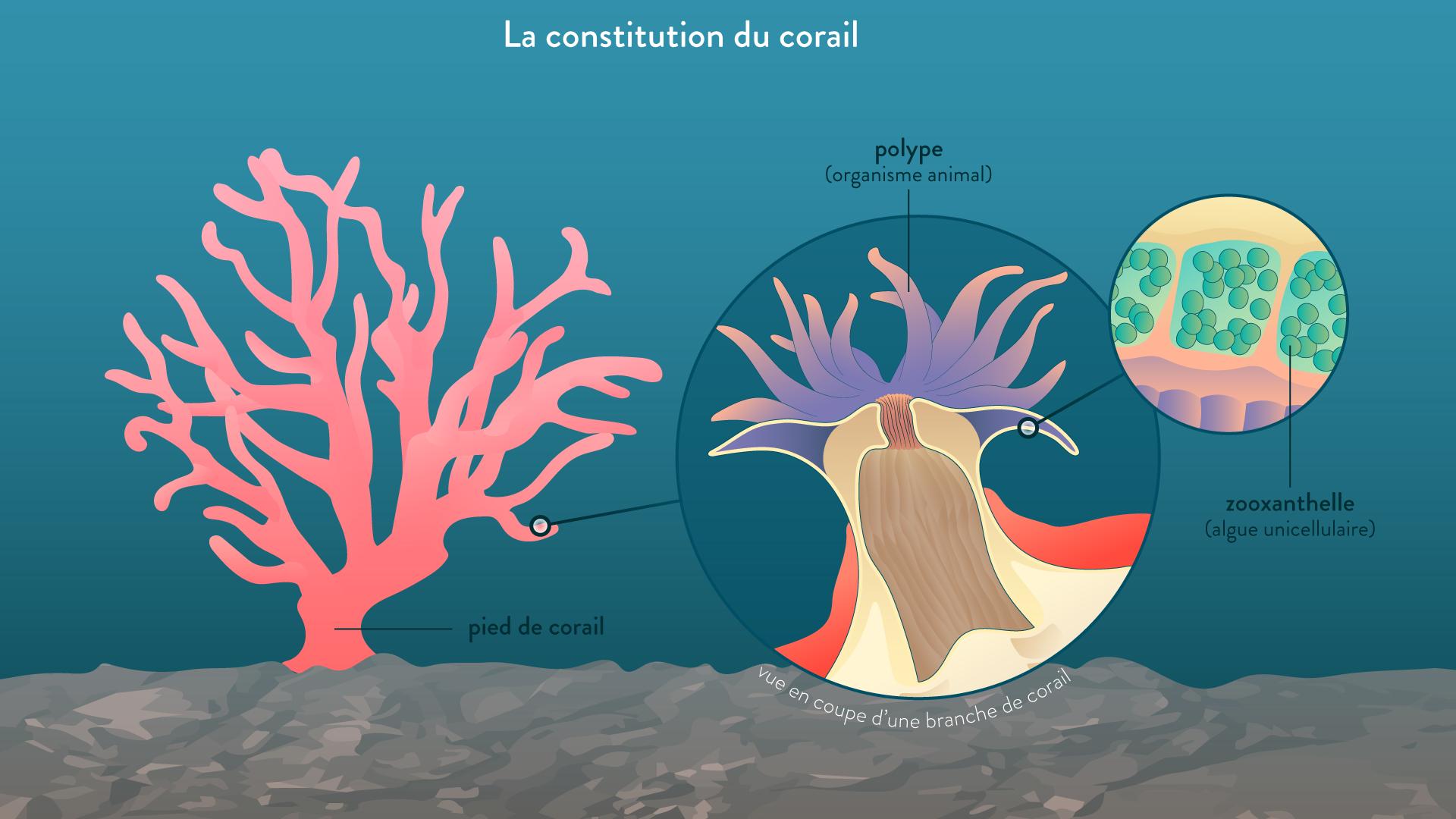 La constitution du corail