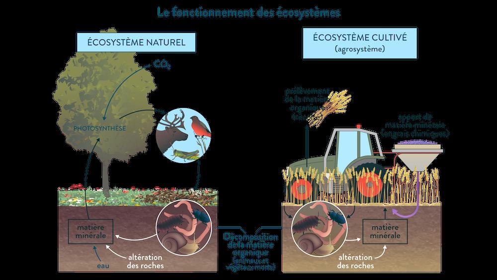 Le fonctionnement d'un écosystème naturel et d'un écosystème cultivé.