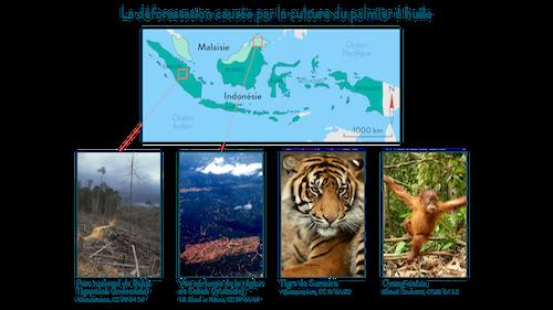 Déforestation causée par la culture du palmier à huile