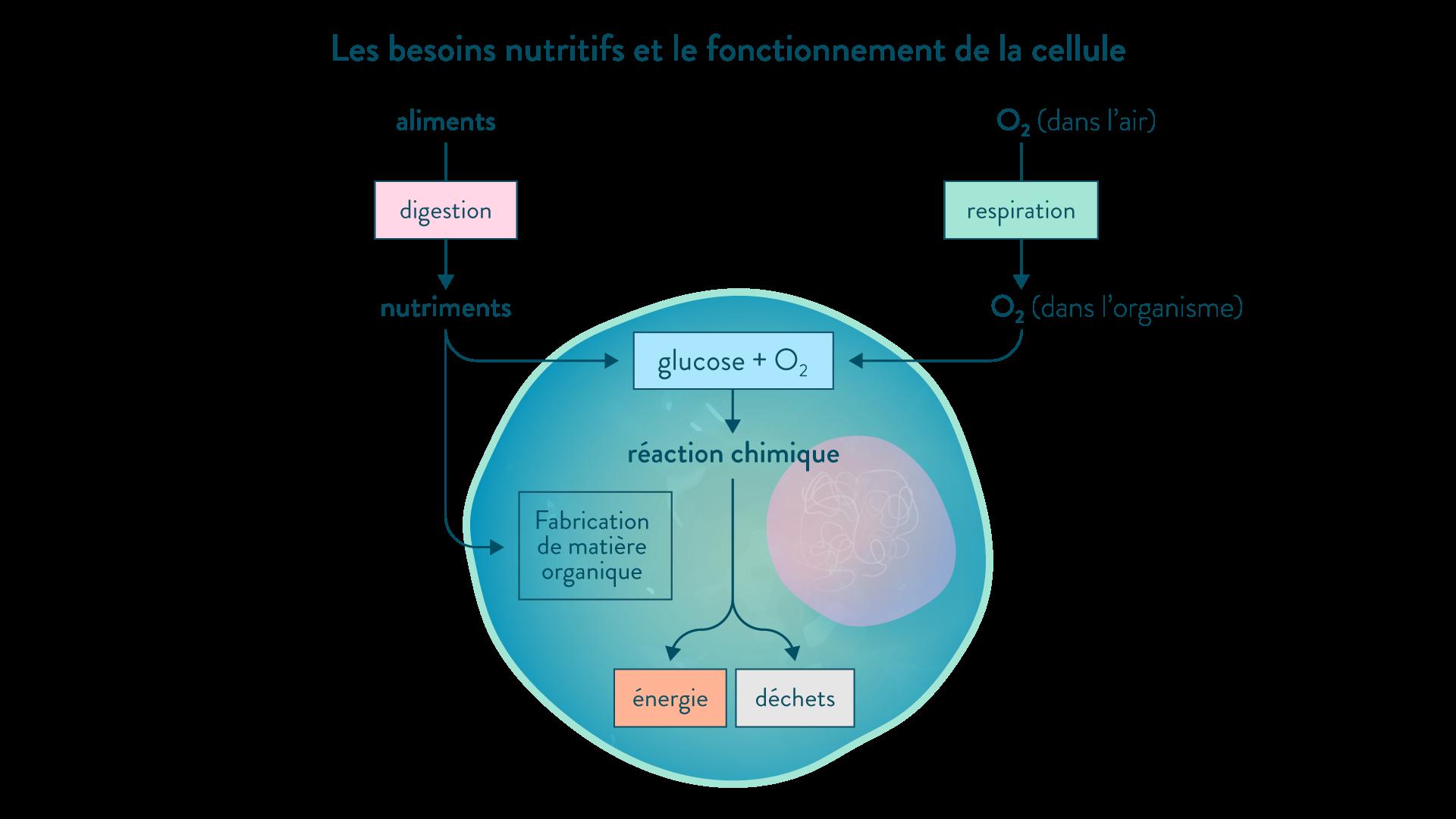 Les besoins nutritifs et le fonctionnement de la cellule