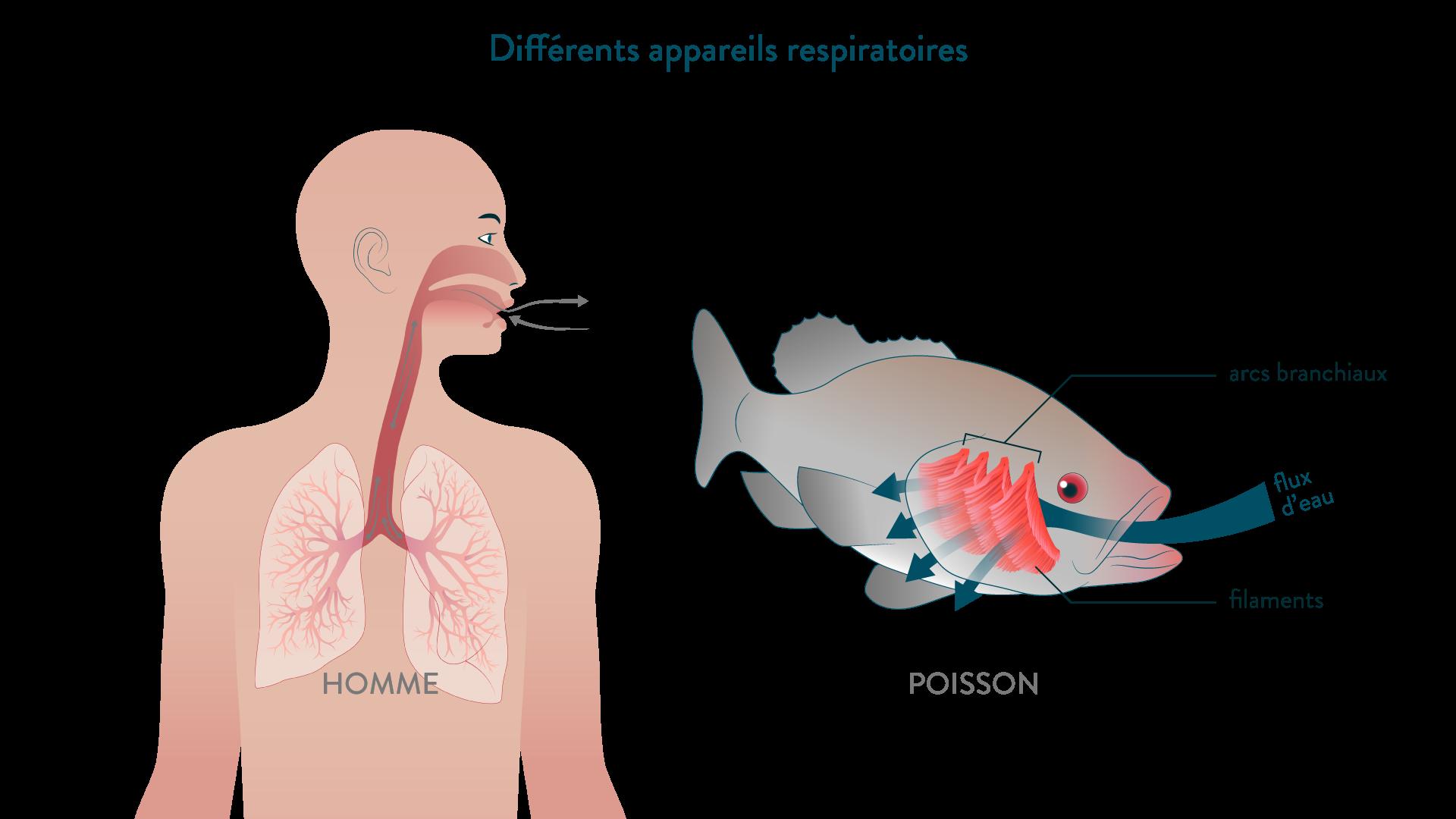 Différents appareils respiratoires