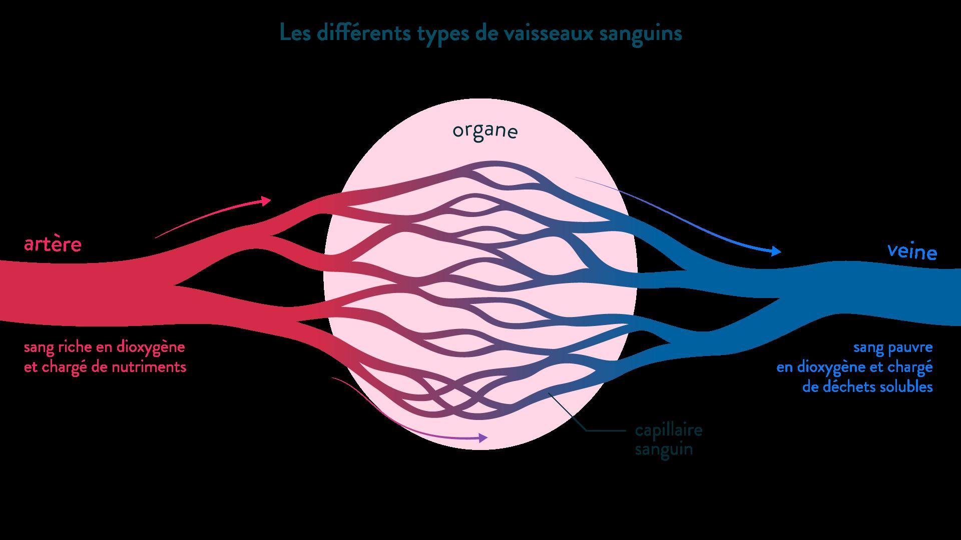 Les différents types de vaisseaux sanguins irriguant un organe, le muscle