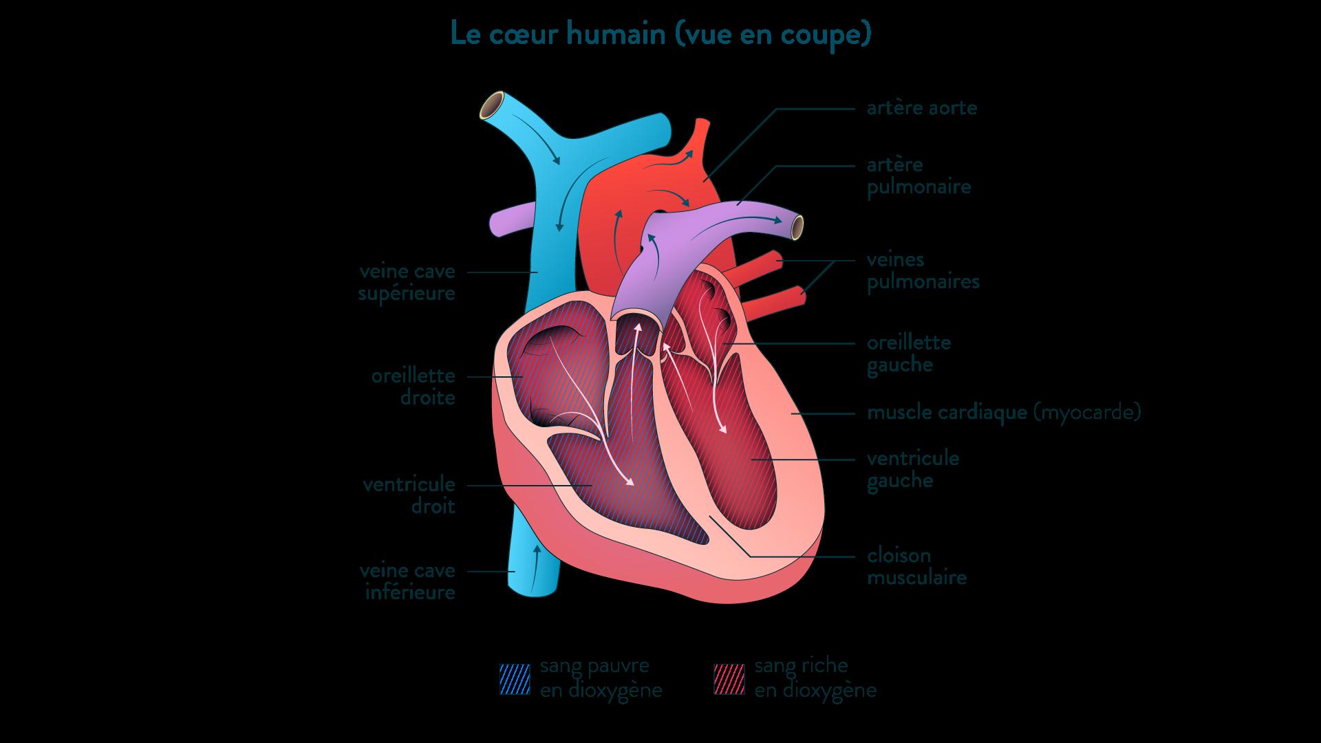Schéma d'un cœur humain en coupe