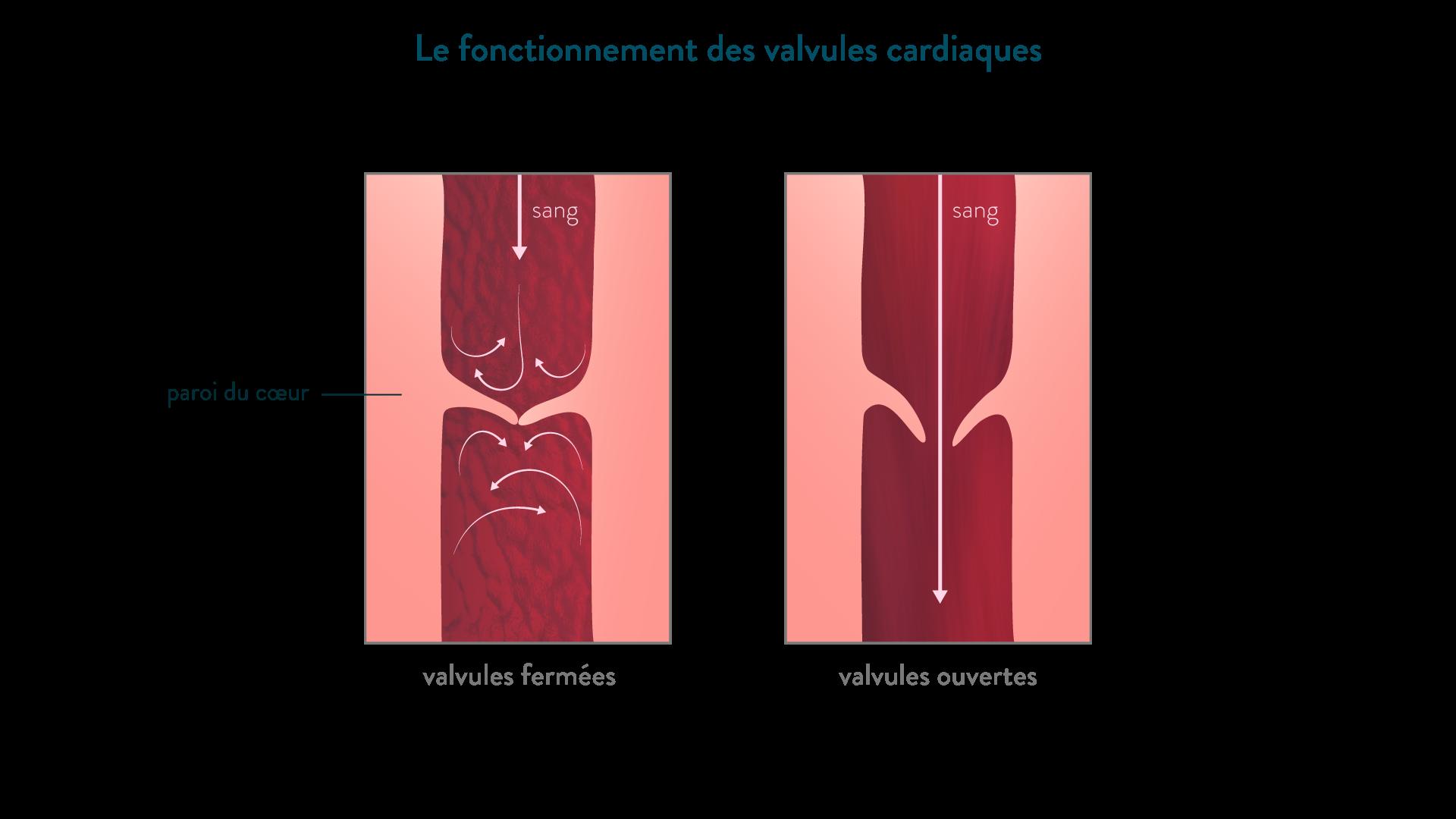 Schéma de fonctionnement des valvules cardiaques