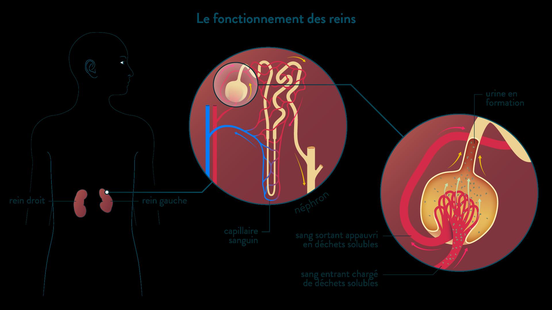 Schéma de fonctionnement des reins