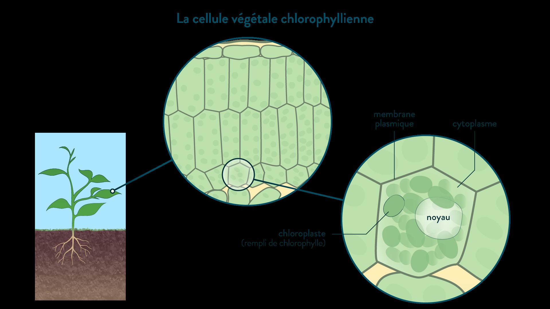 La cellule végétale chlorophyllienne
