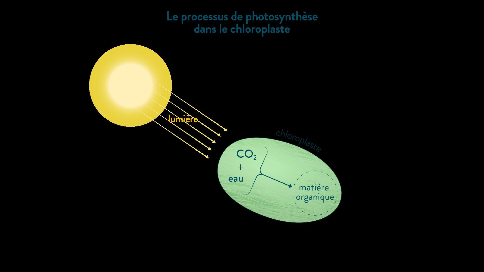 Schéma du processus de photosynthèse dans le chloroplaste